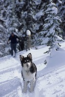 Dog and skier heading up White Queen Mountain, behind Whitewater Ski Resort, Nelson, British Columbia, Canada