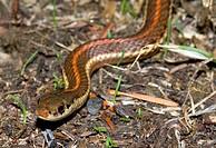 Garter Snake, Canada