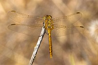 Striped meadowhawk female, Canada