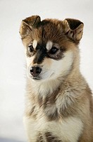 Husky puppy, Northern Canada