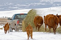Red Angus Bos taurus Females following bale of hay as it unwinds from lifter in back of pickup truck, Ranch, southwest Alberta, Canada