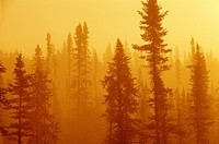black spruce bog in fog at sunrise, boreal forest in northern Ontario, Canada