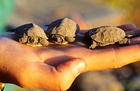 young Blanding turtles in hand of biologist, Kejimkujik National Park, Nova Scotia, Canada