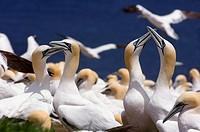 Northern gannet Morus bassanus- ´fencing´ behaviour, Bonaventure Island National Park, Perce, Quebec, Canada
