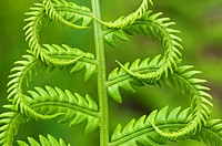 Cinnamon fern Osmunda cinnamomea Detail of emerging fronds, Lively, Ontario, Canada