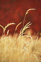 Agriculture ripe wheat in field, with autumn red leaves defocused in background, British Columbia, Canada