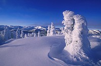 Mt  Washington Ski Resort Snow frosted trees, Vancouver Island, British Columbia, Canada