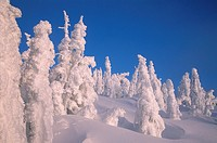 Snow covered trees on Mount Washington ski resort, Vancouver Island, British Columbia, Canada