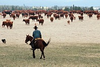 Cowboy wrangling steer, Alkalai Ranch, British Columbia, Canada