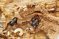 Mountain Pine Beetle larvae and adult in galleries under pine tree bark, Smithers, British Columbia, Canada