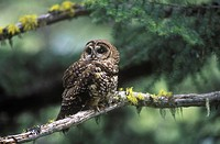 The Northern Spotted Owl Strix occidentalis caurina is found in the old growth coniferous forests of southern, British Columbia, Canada