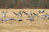 Flock of sandhill cranes, British Columbia, Canada