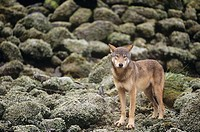 Coastal Wolf, Canis Lupus, Central Coast, British Columbia, Canada