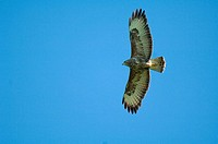 common buzzard - flying / Buteo buteo