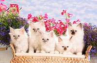 five Sacred cat of Burma kittens in front of flowres