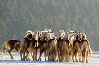 Haflinger - herd in snow