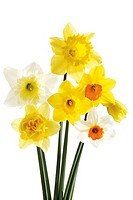 Daffodils, close-up