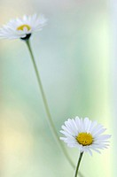 Daisies, close-up