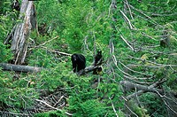 Mother and Cub, Black Bear, Clayoquot Sound, Vancouver Island, British Columbia, Canada