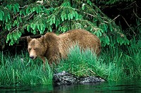 Coastal Grizzly in Sedge Estuary, Great Bear Rainforest, British Columbia, Canada
