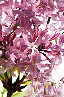 Lilac, Syringa, close-up