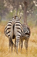 Plains Zebras, equus burchelli