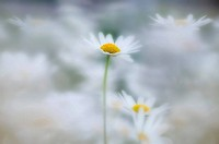 Ox-eyed Daisies, Kootenay National Park, British Columbia