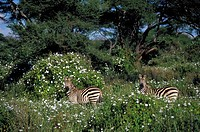 Plains Zebra and tissue Flowers, Tarangire National Park, Tanzania, Africa
