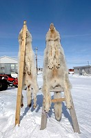 Wolf Skins, Cambridge Bay , Nunavut