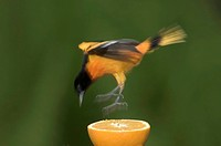 Male Northern, or Baltimore, Oriole Icterus galbula, Landing on an Orange, Windsor, Ontario
