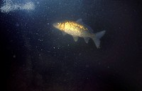 Common Carp (Cyprinus carpio). Galicia, Spain