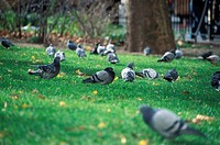 Pigeons Grazing In The Park