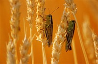Grasshoppers on Wheat, Treherne, Manitoba