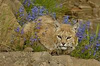 Bobcat Felis rufus