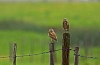 Burrowing Owls, British Columbia Grasslands
