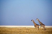 Two Giraffes in Etosha National Park