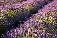 Lavender Lavandula flowers growing on field, close-up