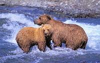 Grizzly,Alaskan Brown Bear Bear sow & cub  McNeil River, Alaska  Summer  Ursus arctos middendorffi