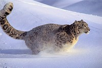 Snow Leopard running  Central Asia, from Northwest China to Tibet & the Himalayas  Rare & Endangered  Panthera uncia