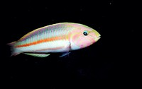 Klunzinger Wrasse (Thalassoma klunzingeri). Red Sea