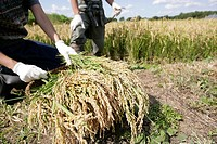 Organic rice harvest