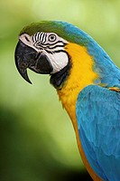 Blue &amp; yellow macaw