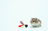 Dzhungarian hamster Phodopus sungorus and toy