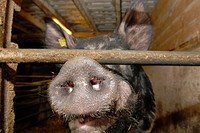 Motala, Sweden. Pig farm. Pig's nose. Livestock. Animals. Bacon. Close up