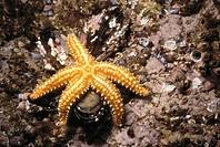 Starfish (Marthasterias glacialis) devouring mussel. Ria of Vigo, Pontevedra province, Galicia, Spain