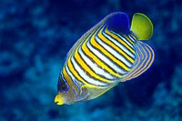 Close_up of Royal angelfish Pygoplites diacanthus swimming underwater