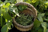 Beans in basket, organic garden, Manitoba, Canada