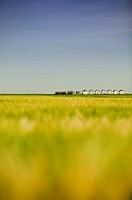 Distant row of granaries, barley field in foreground, Saskatchewan, Canada