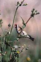 Goldfinch (Carduelis carduelis). Lesbos, Greece