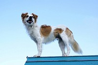 Low angle view of Kromfohrlander dog standing on roof